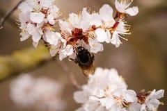 Rama floreciente con la flor del cerezo y de la abeja Foto de archivo libre de regalías