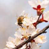 Rama floreciente con la flor del cerezo y de la abeja Fotografía de archivo libre de regalías