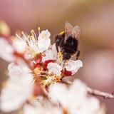 Rama floreciente con la flor del cerezo y de la abeja Foto de archivo