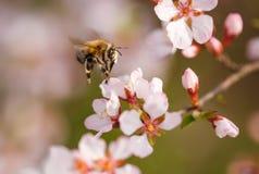 Rama floreciente con la flor del cerezo y de la abeja Imagen de archivo