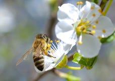 Rama floreciente con la flor del cerezo y de una abeja de la miel Imagen de archivo