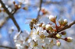 Rama floreciente con la flor del cerezo y de una abeja de la miel Fotos de archivo