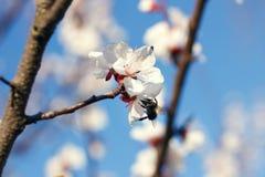Rama floreciente con la flor del cerezo y de una abeja de la miel Fotografía de archivo libre de regalías