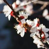 Rama floreciente con la flor del cerezo y de una abeja de la miel Fotografía de archivo