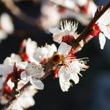 Rama floreciente con la flor del cerezo y de una abeja de la miel Imagenes de archivo
