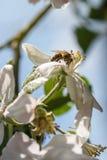 Rama floreciente con la flor del cerezo y de una abeja de la miel Foto de archivo libre de regalías