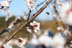Rama floreciente con la flor del cerezo y de una abeja de la miel Fotos de archivo libres de regalías