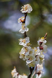 Rama floreciente de Cherry On un fondo de pinos verdes Imagenes de archivo