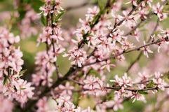 Rama floreciente de la almendra Fotografía de archivo libre de regalías