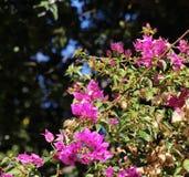 Rama floreciente de la buganvilla, con la mariposa Fotografía de archivo