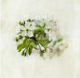 Rama floreciente de la cereza Imagenes de archivo