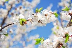 Rama floreciente de la cereza foto de archivo