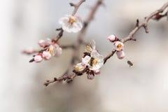 Rama floreciente de la cereza con las abejas Fotografía de archivo libre de regalías