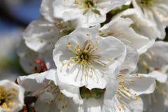 Rama floreciente de la cereza del vignola, Módena foto de archivo