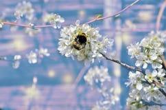 Rama floreciente de la cereza de la primavera con el abejorro en las flores blancas Fotos de archivo