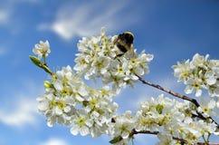 Rama floreciente de la cereza de la primavera con el abejorro en las flores blancas Imagen de archivo libre de regalías
