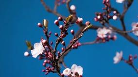 Rama floreciente de la flor del rosa de Sakura de la primavera almacen de video