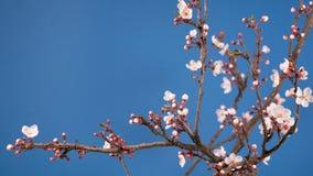 Rama floreciente de la flor del rosa de Sakura de la primavera almacen de metraje de vídeo