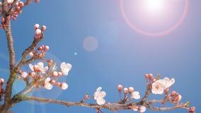 Rama floreciente de la flor del rosa de Sakura de la primavera metrajes
