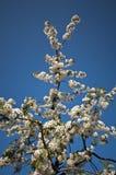Rama floreciente de la huerta de cereza amarga Fotografía de archivo libre de regalías