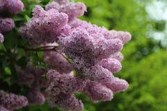 Rama floreciente de la lila imagen de archivo