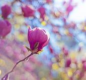 Rama floreciente de la magnolia Fotos de archivo libres de regalías