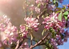 Rama floreciente de la manzana imágenes de archivo libres de regalías