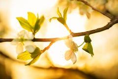 Rama floreciente de la manzana en los rayos del sol poniente Imagen de archivo libre de regalías