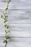 Rama floreciente de la primavera Imagen de archivo libre de regalías
