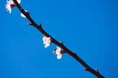 Rama floreciente de la primavera en el cielo azul del fondo Fotos de archivo