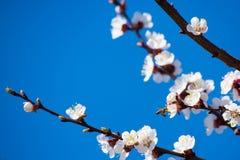 Rama floreciente de la primavera en el cielo azul del fondo Imagen de archivo libre de regalías