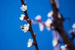 Rama floreciente de la primavera en el cielo azul del fondo Imagen de archivo
