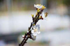 Rama floreciente de la primavera en el cielo azul del fondo Imagenes de archivo