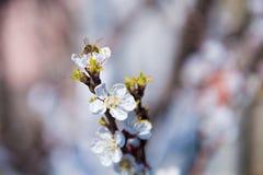 Rama floreciente de la primavera en el cielo azul del fondo Fotografía de archivo