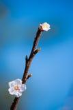 Rama floreciente de la primavera en el cielo azul del fondo Foto de archivo