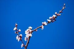 Rama floreciente de la primavera en el cielo azul del fondo Fotografía de archivo libre de regalías