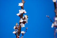 Rama floreciente de la primavera en el cielo azul del fondo Foto de archivo libre de regalías