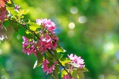 Rama floreciente de los manzanos en un fondo verde Fotografía de archivo libre de regalías