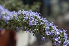 Rama floreciente de Rosemary Foto de archivo libre de regalías