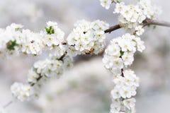 Rama floreciente de un árbol con una abeja Fotos de archivo libres de regalías