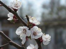 Rama floreciente del árbol Fotografía de archivo libre de regalías