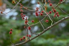 Rama floreciente del árbol en primavera temprana Imagenes de archivo