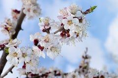 Rama floreciente del árbol frutal del cielo azul de la flor del albaricoque de la primavera con la belleza de flores Imagen de archivo
