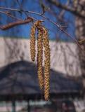 Rama floreciente del abedul al aire libre Fotografía de archivo libre de regalías