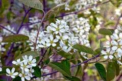 Rama floreciente del abedul con las flores blancas Imagenes de archivo