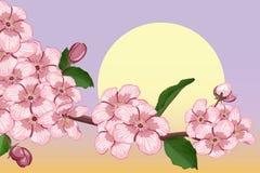 Rama floreciente del albaricoque Fotografía de archivo