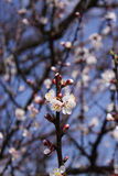 Rama floreciente del albaricoque Imagen de archivo libre de regalías