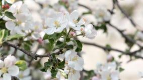 Rama floreciente del Apple-árbol que se sacude en el viento Primer metrajes