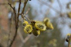 Rama floreciente del Gatito-sauce con la abeja Foto de archivo