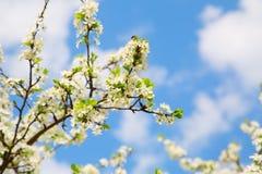Rama floreciente del jardín de la cereza Foto de archivo libre de regalías